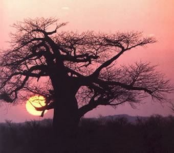 A tree in Africa